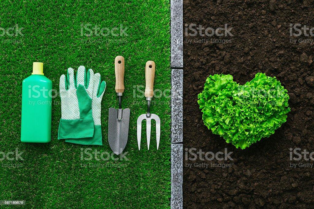 Fresh lettuce in the garden stock photo