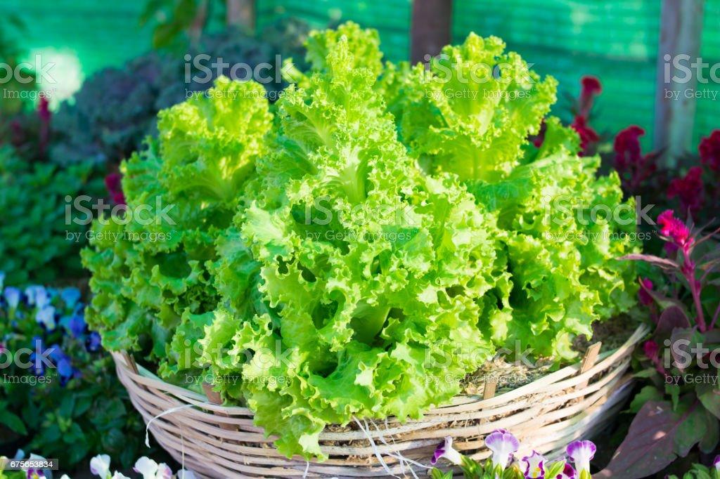 Fresh lettuce leaves on basket stock photo
