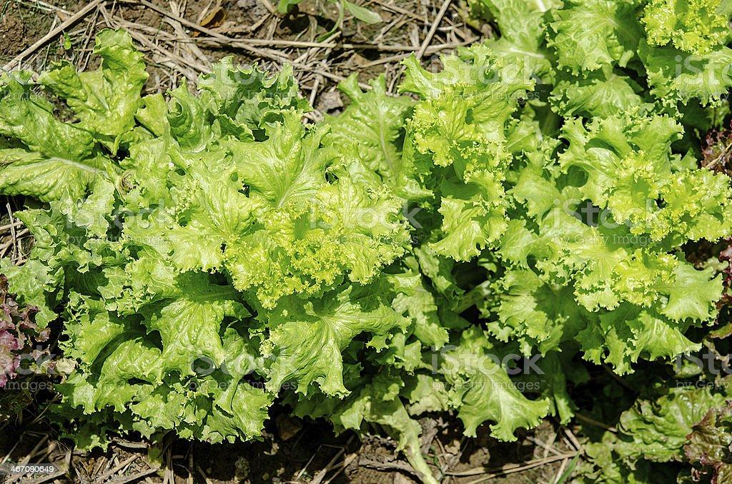 Fresh lettuce on planting farm stock photo