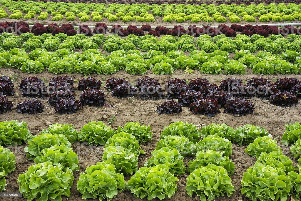 Fresh Lettuce royalty-free stock photo