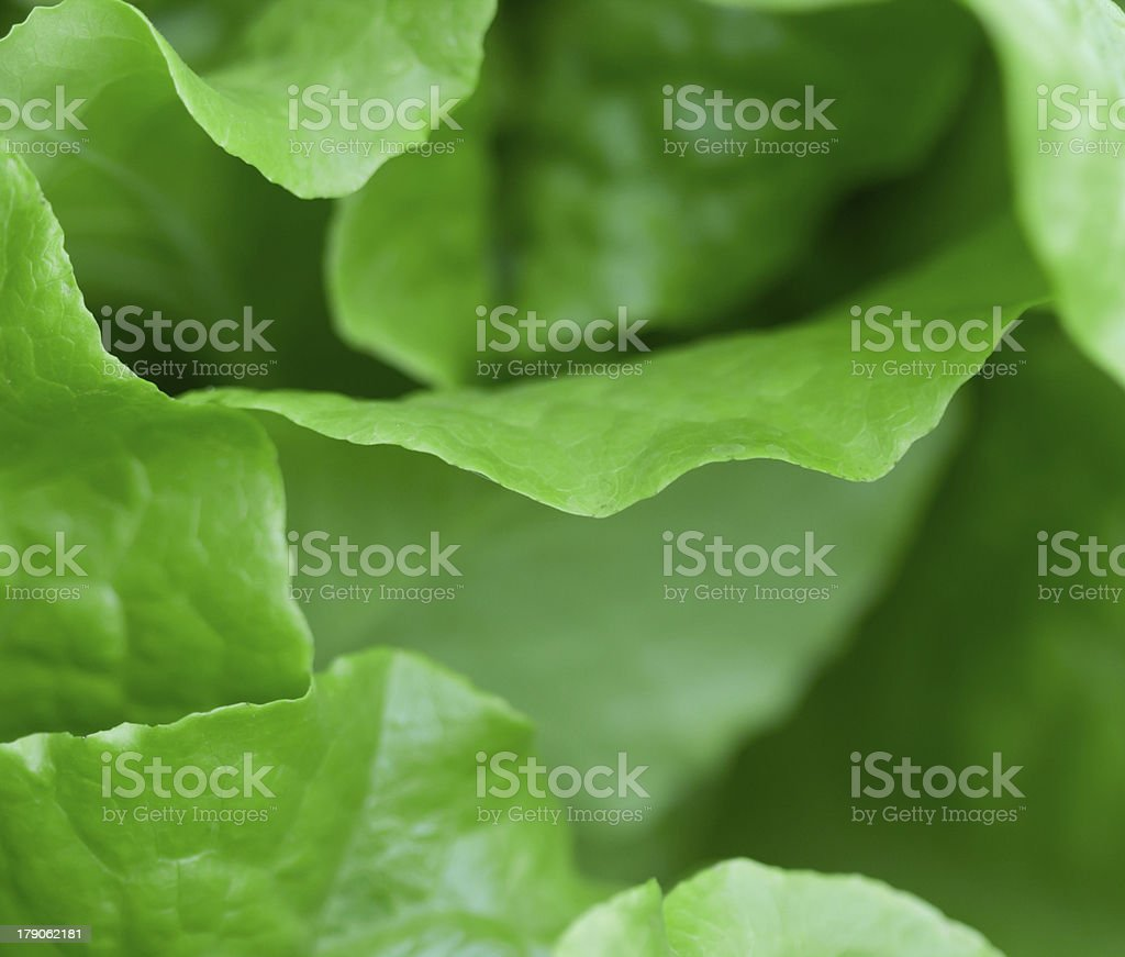 Fresh lettuce salad leaf close-up royalty-free stock photo
