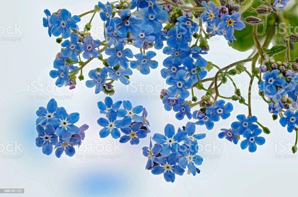 fresh light blue forget-me - Flowers stock photo
