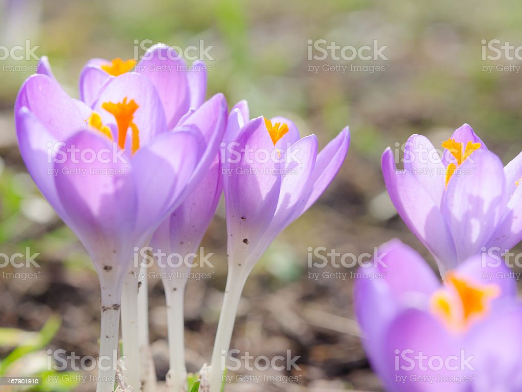 Fresh lilac spring blossoming crocus flowers in Alpine glade stock photo