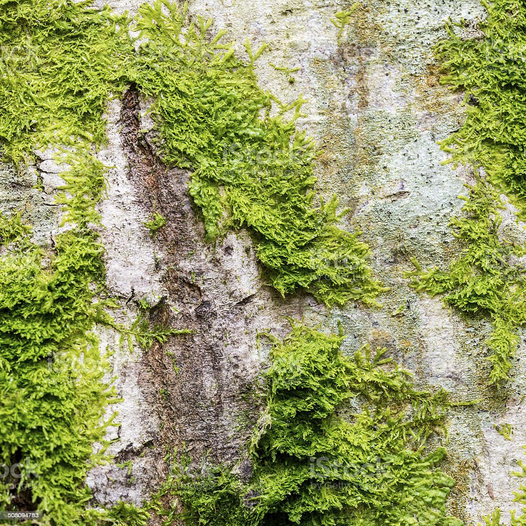 Fresh lush green moss on the bark of a tree stock photo