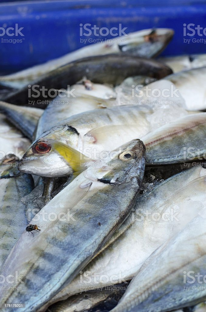 Fresh mackerel fish on ice in the market royalty-free stock photo