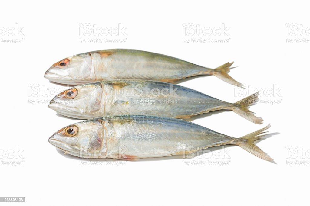 Fresh Mackerel on white background royalty-free stock photo
