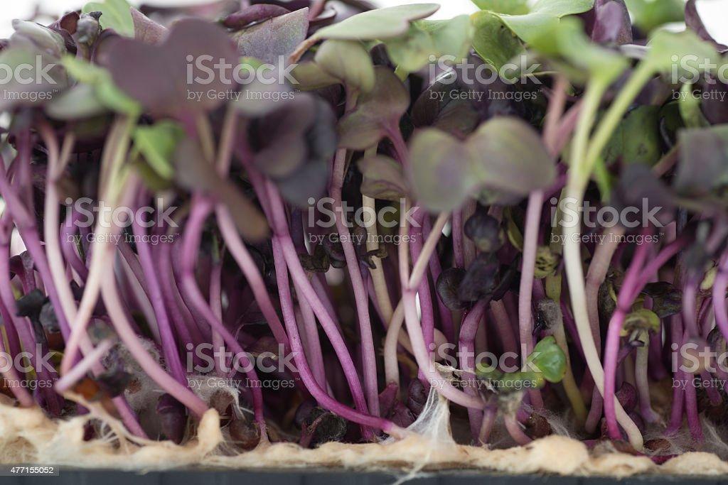 fresh magenta cress stock photo