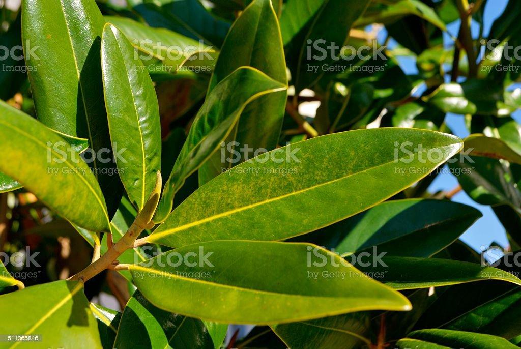 Fresh magnolia leaves stock photo