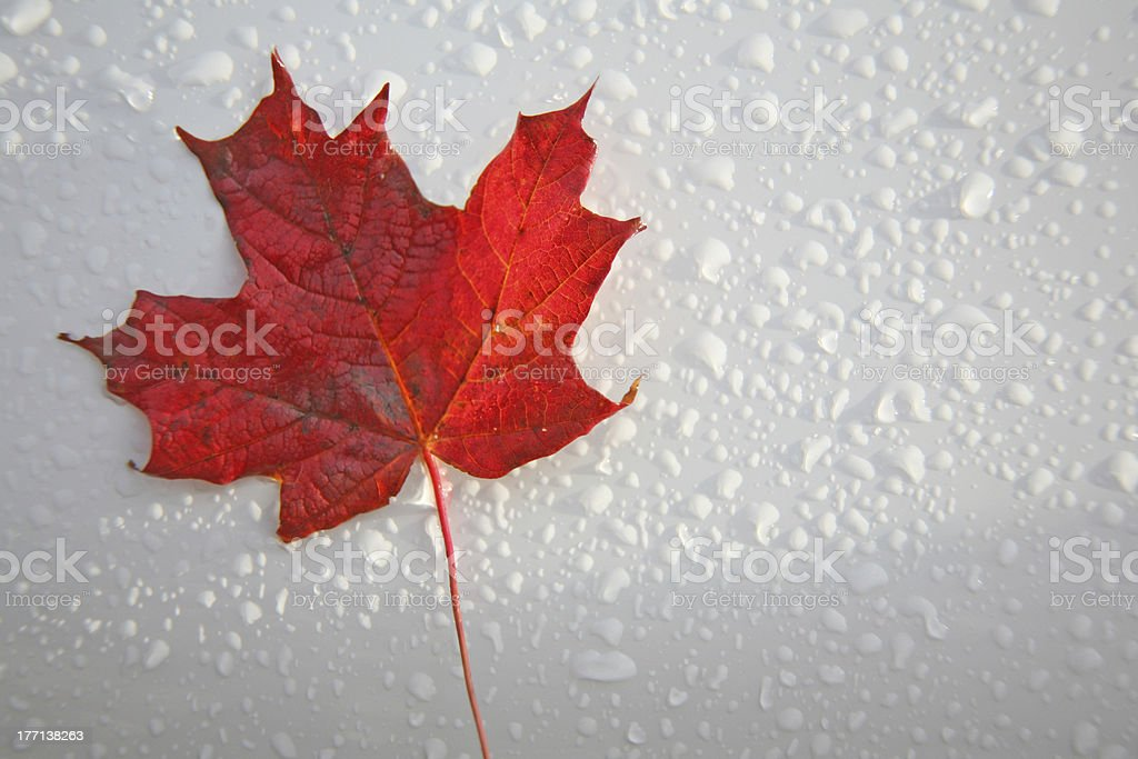 Fresh Maple Leaf stock photo
