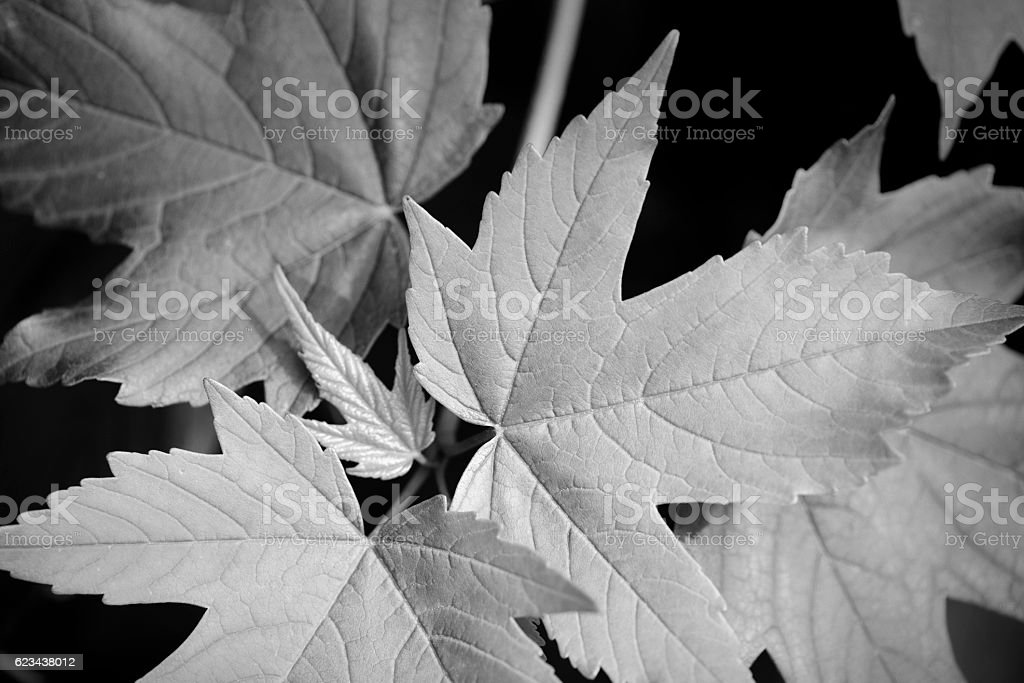 Fresh maple leaves in spring or summer stock photo