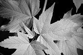 Fresh maple leaves in spring or summer