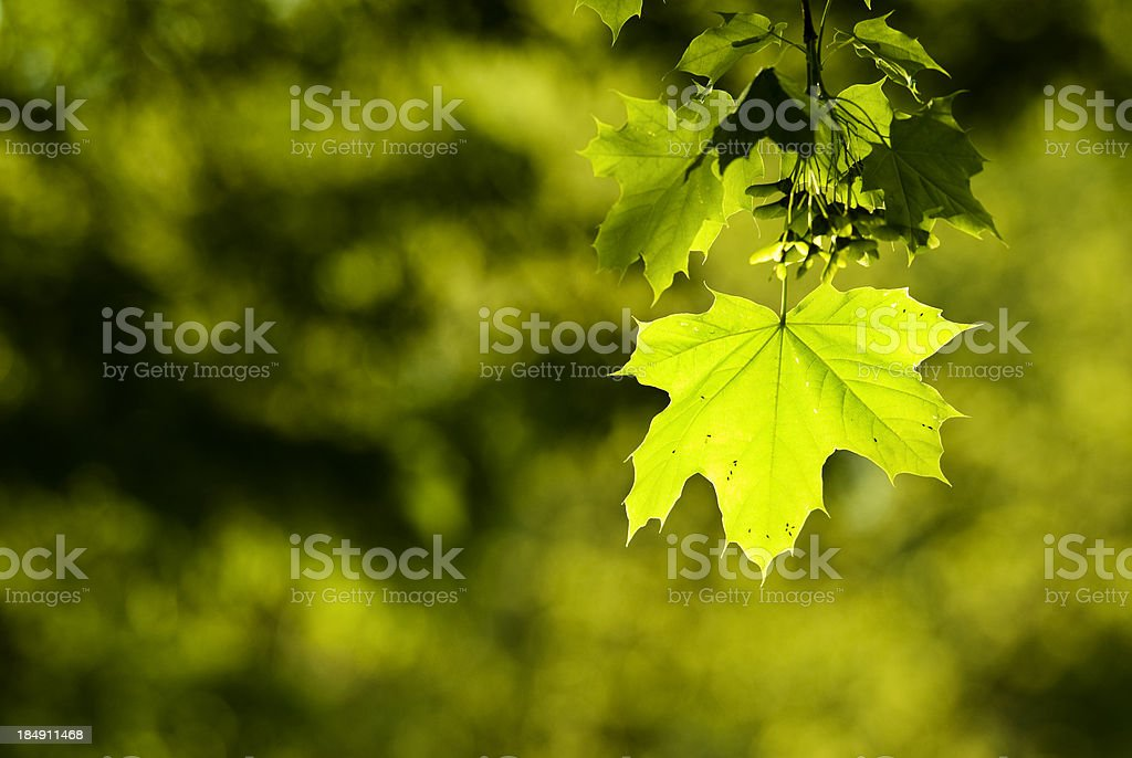 Fresh maple leaves royalty-free stock photo