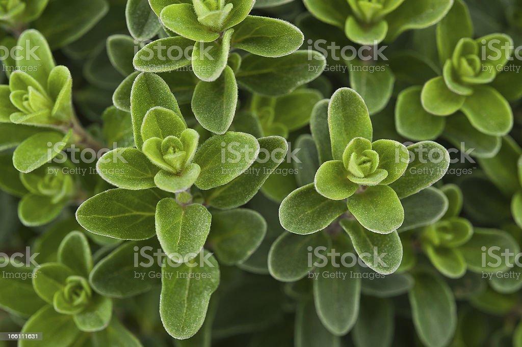 Fresh marjoram stock photo