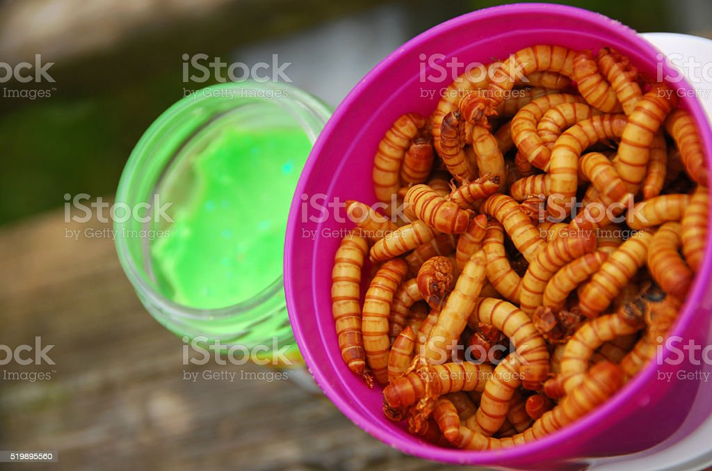 Fresh mealworsm in a jar stock photo