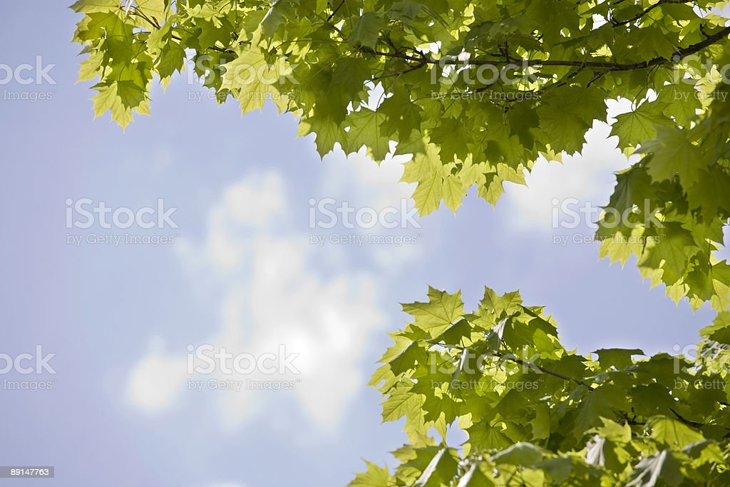 fresh meaple leaves and sky XL stock photo