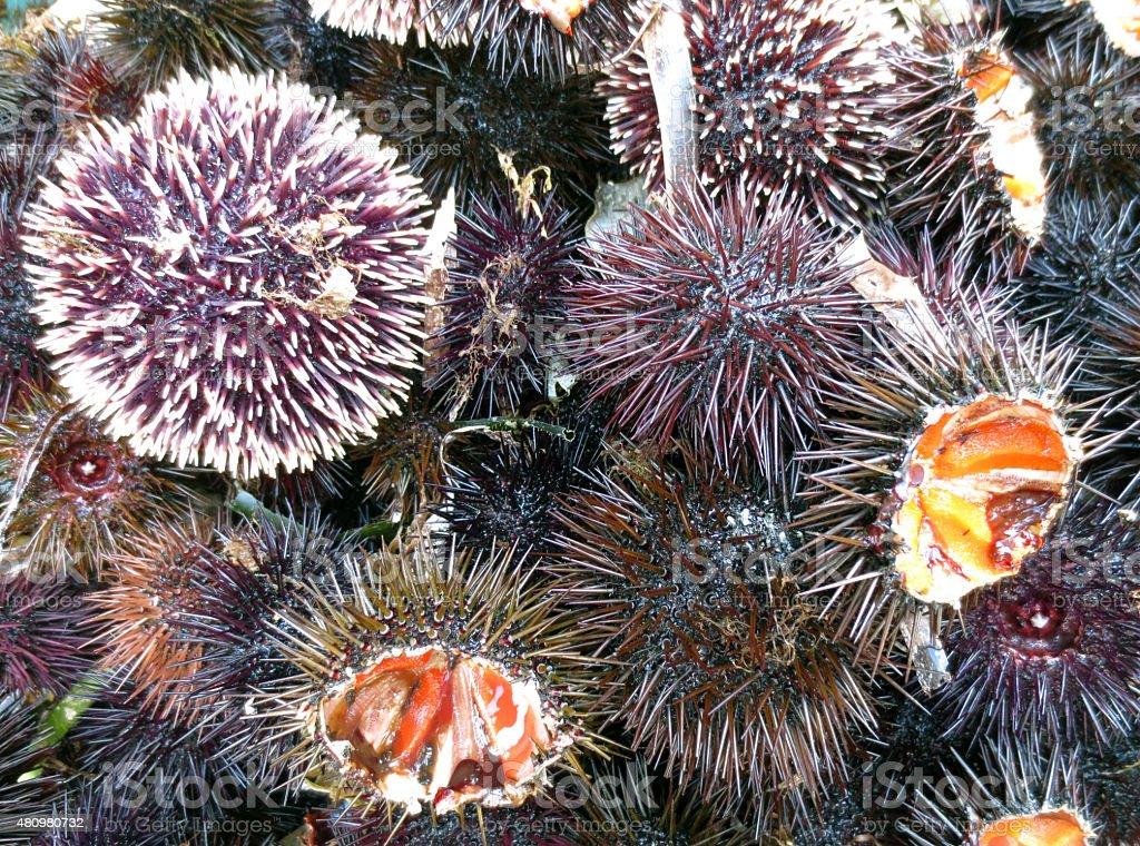 Fresh Mediterranean sea urchins stock photo