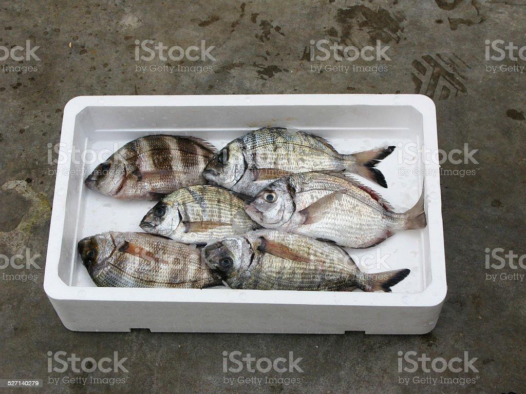 Fresh Mediterranean Two-banded seabream stock photo