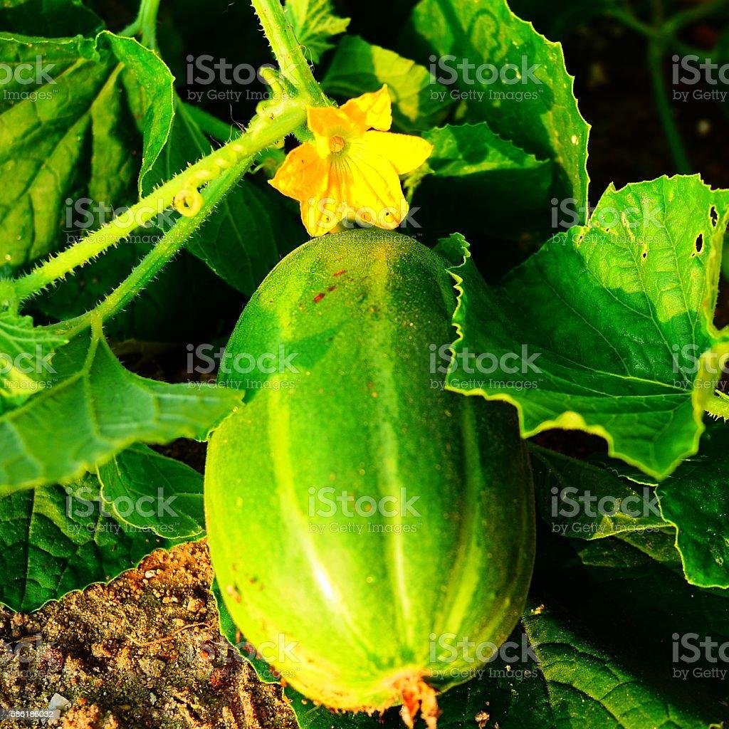 fresh melon vine stock photo