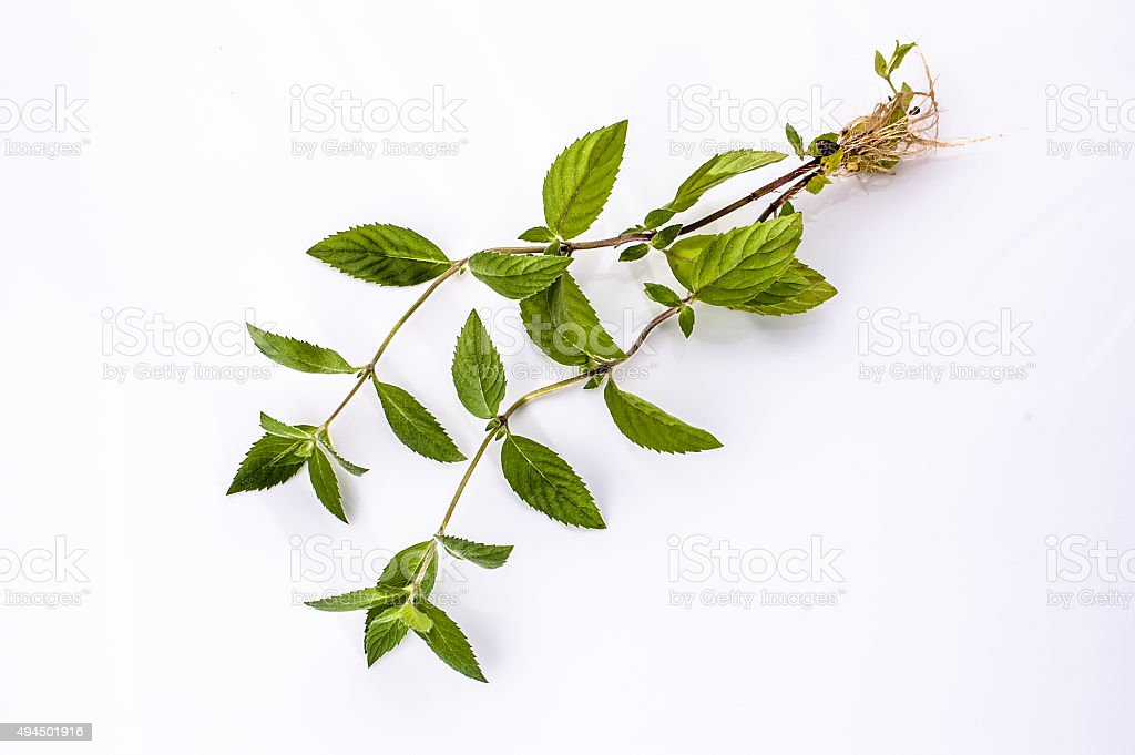 Fresh mint herb with roots isolated on a white background. stock photo