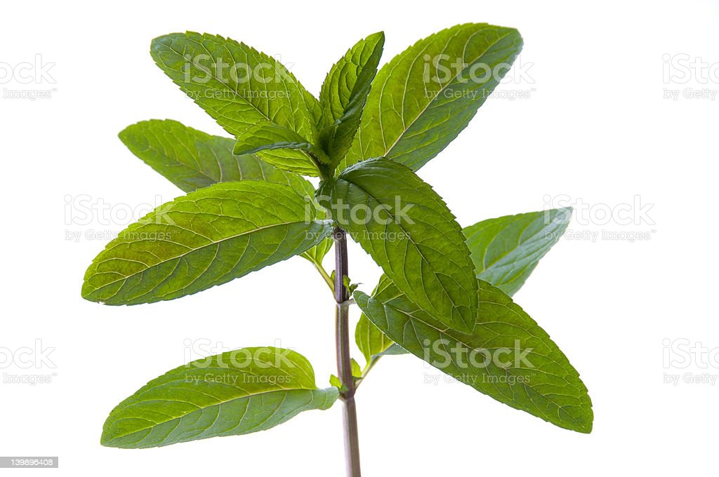 fresh mint leaf and stem (isolated) royalty-free stock photo