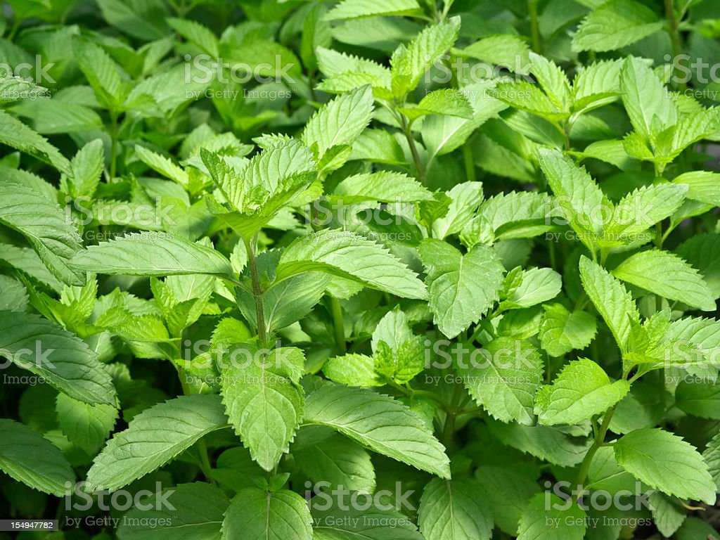 Fresh mint leaves growing in a garden royalty-free stock photo