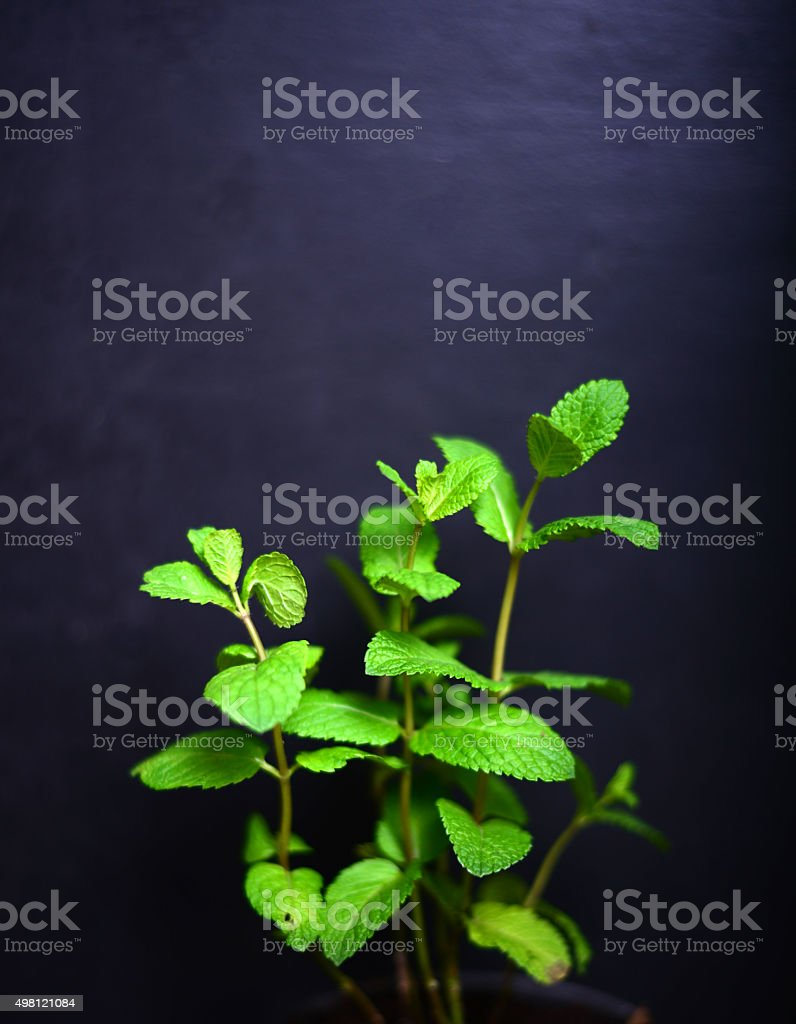 Fresh mint leaves on black board for background stock photo