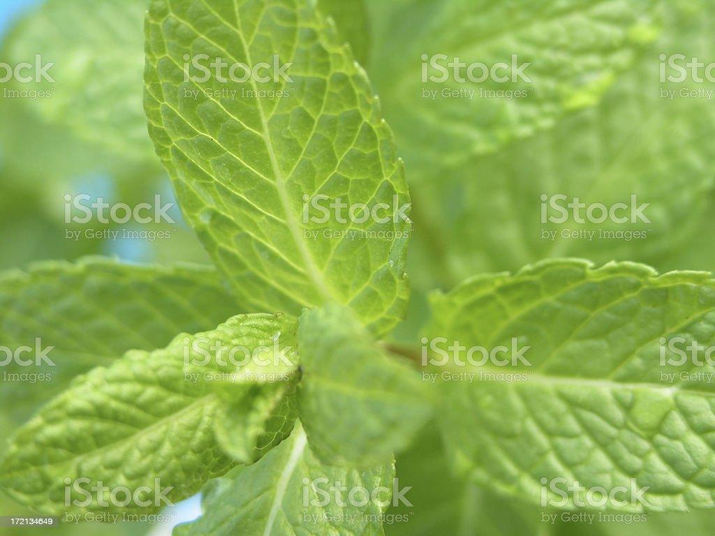 fresh mint leaves royalty-free stock photo