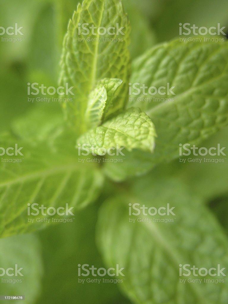 fresh mint royalty-free stock photo