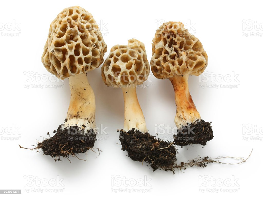 fresh morel mushroom stock photo
