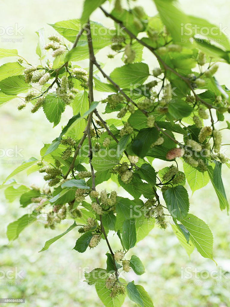 Fresh mulberry on tree stock photo
