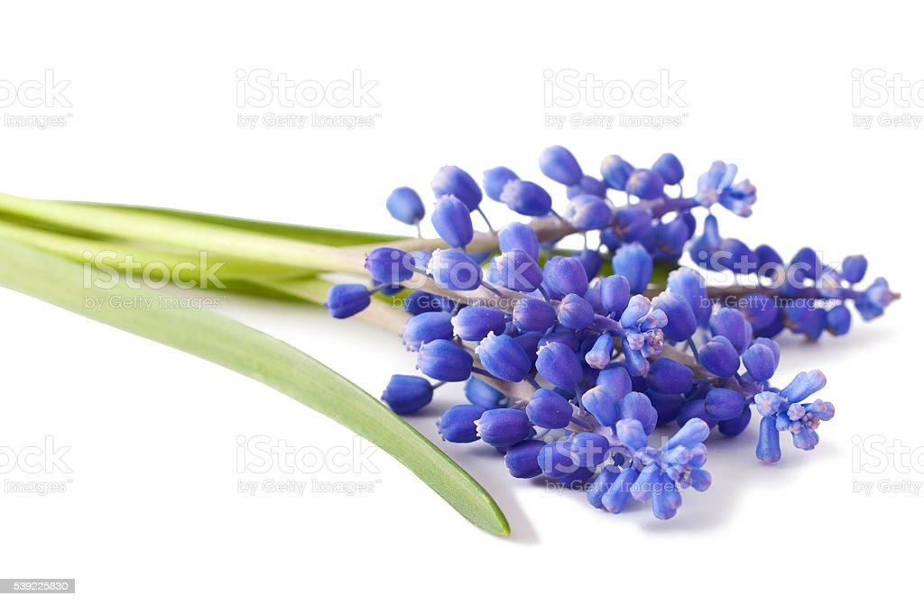 fresh muscari grape hyacinth flowers stock photo