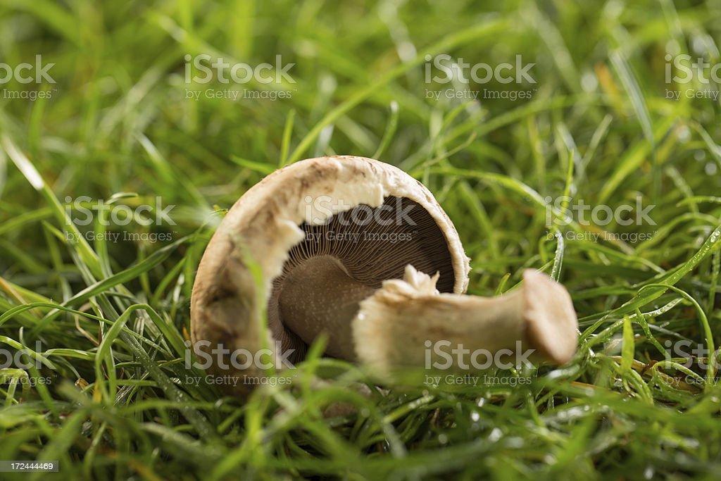 Fresh mushroom in forest royalty-free stock photo