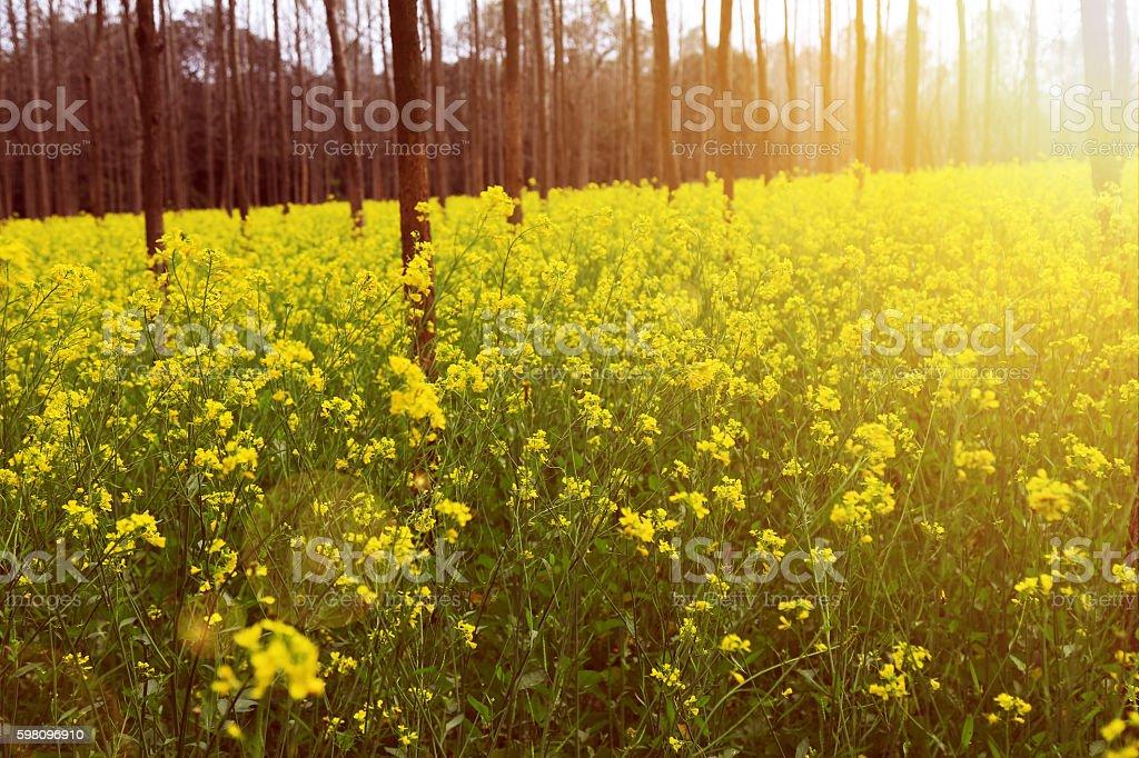 Fresh Mustard Field stock photo