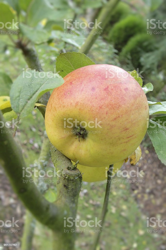 fresh natural Apple stock photo