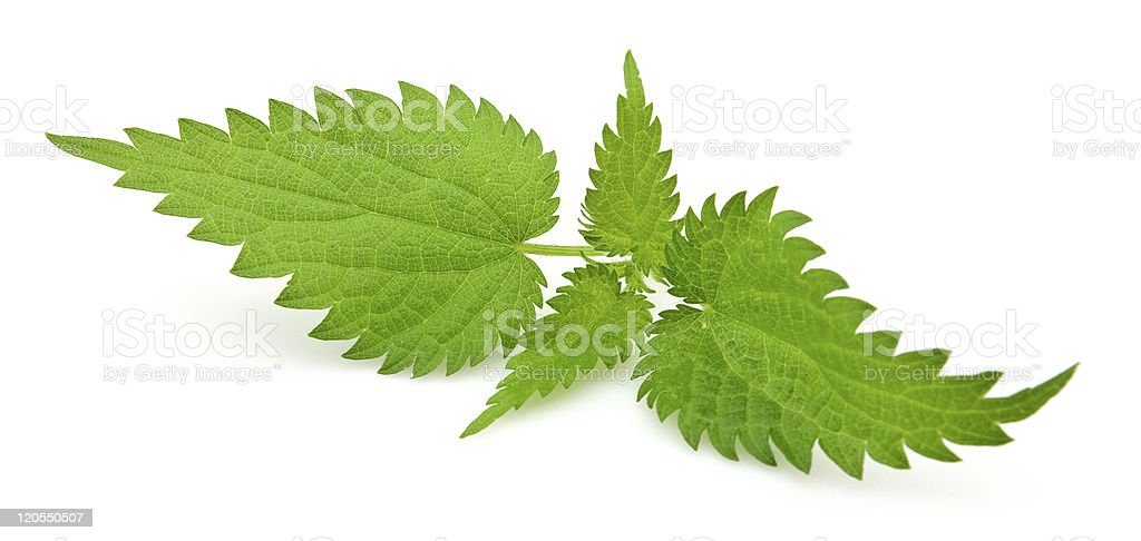 Fresh nettle stock photo