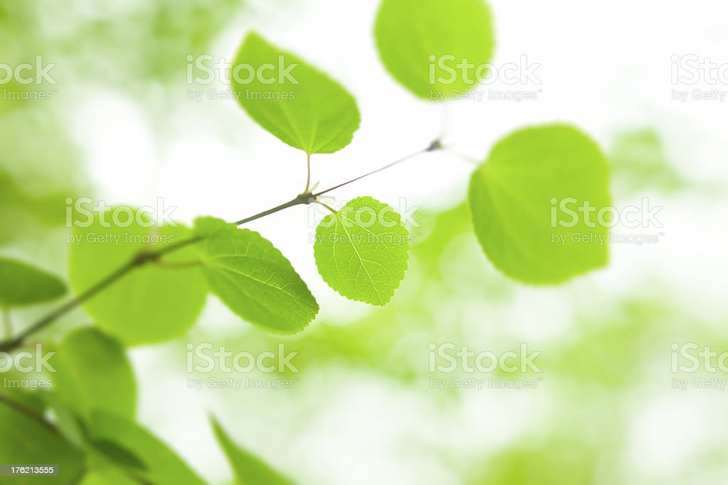 fresh new green leaves glowing in forest royalty-free stock photo