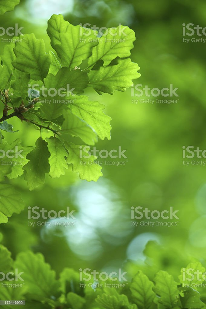 fresh new oak leaves royalty-free stock photo