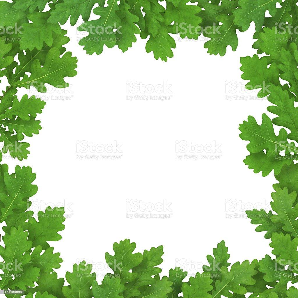 Fresh Oak Leaves On White Background royalty-free stock photo