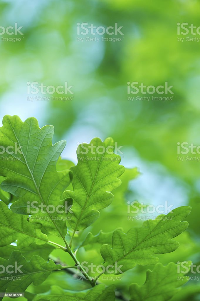 fresh oak leaves royalty-free stock photo