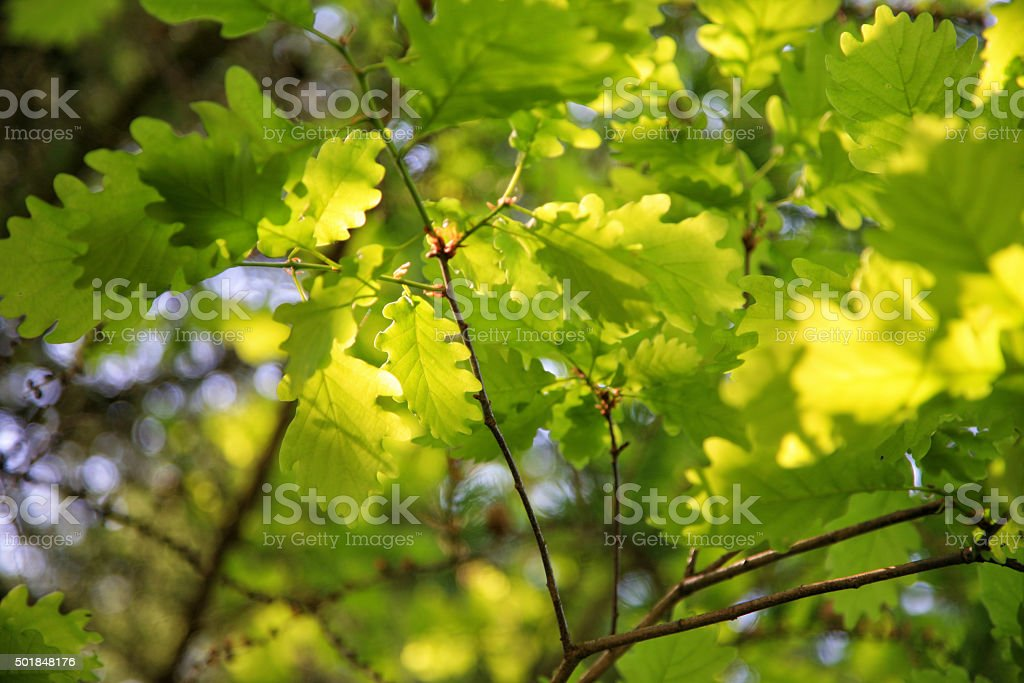 Fresh oak tree leaves stock photo