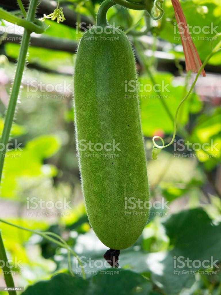 Fresh of green Winter melon on the tree. stock photo