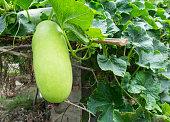 Fresh of green Winter melon on the tree.The Winter Melon