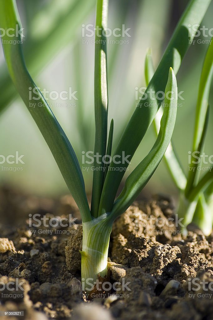 Fresh onion in garden royalty-free stock photo