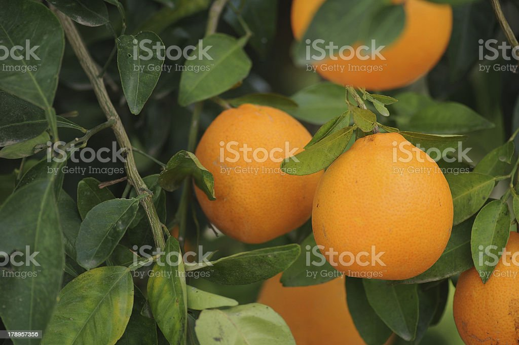 Fresh oranges on the tree royalty-free stock photo