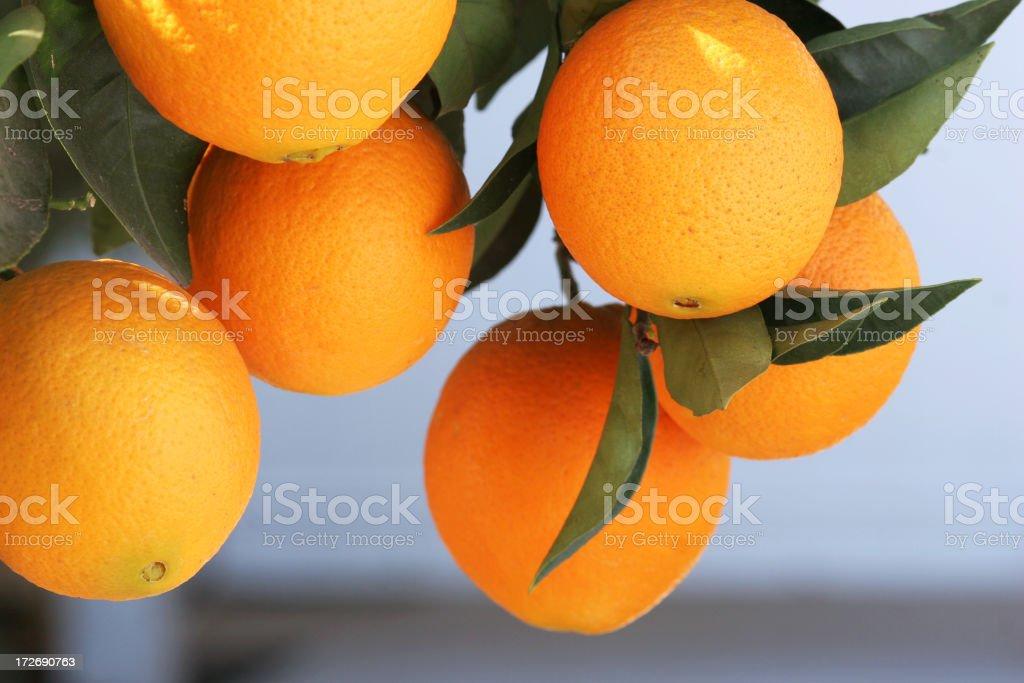 Fresh oranges royalty-free stock photo