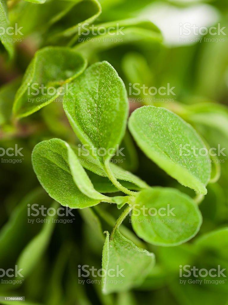 Fresh oregano leaves for harvesting stock photo