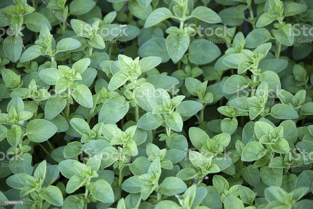 Fresh Oregano stock photo