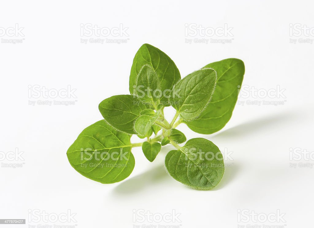 Fresh oregano sprig stock photo