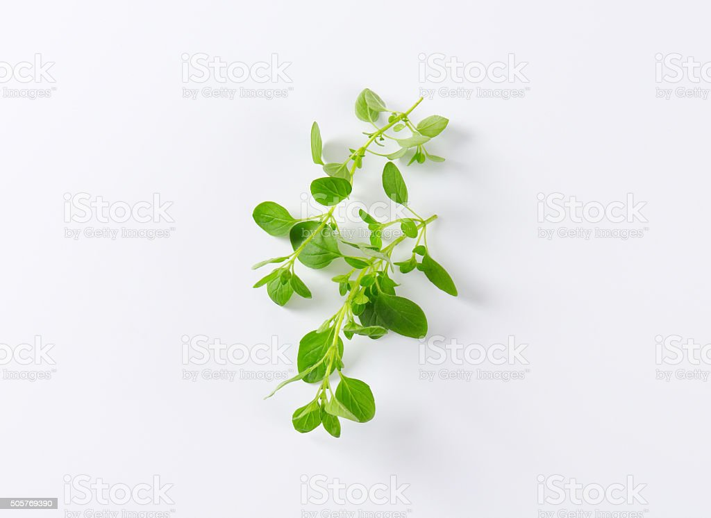 fresh oregano sprigs stock photo