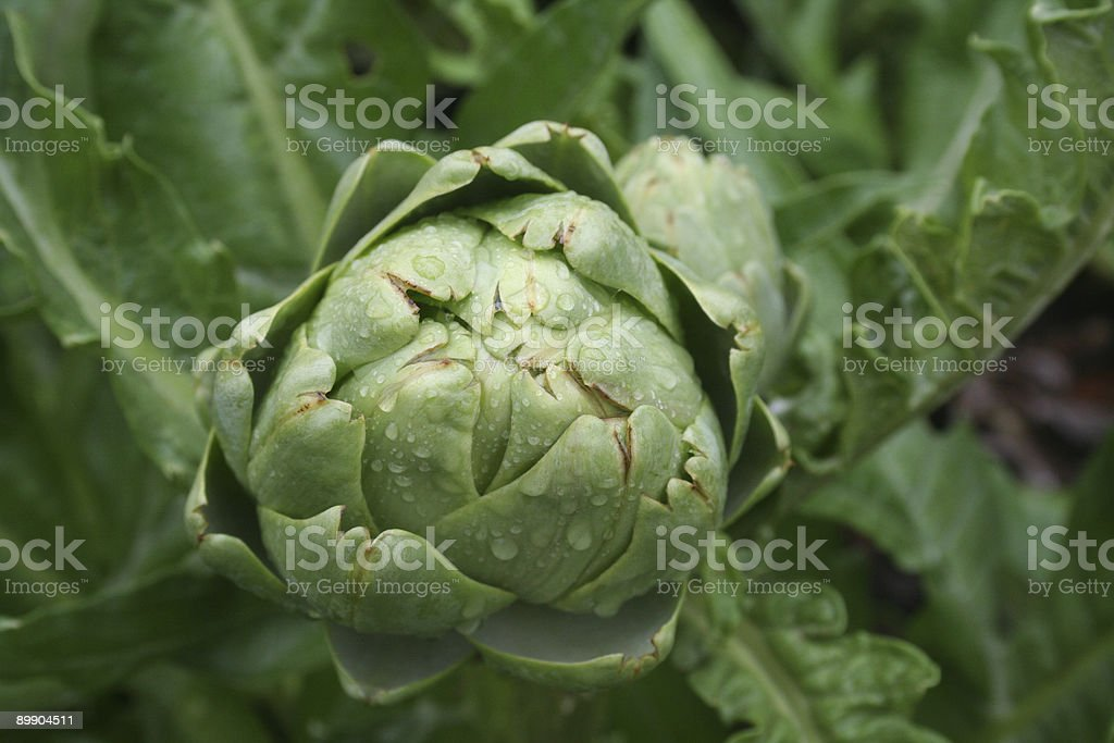Fresh, Organic Baby Artichoke in Garden royalty-free stock photo
